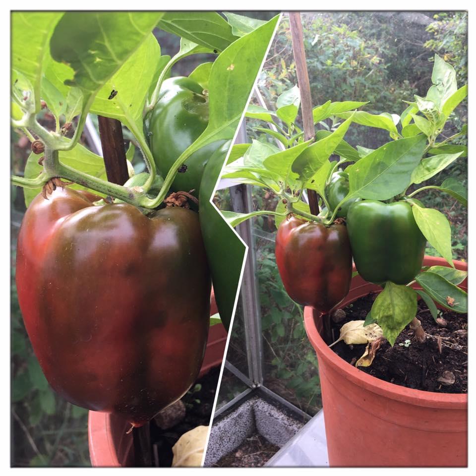 Paprikan i växthuset